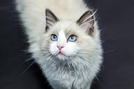 γάτες, γάτα, κατοικίδιο ζώο, γάτα πρόσωπο, γατάκι