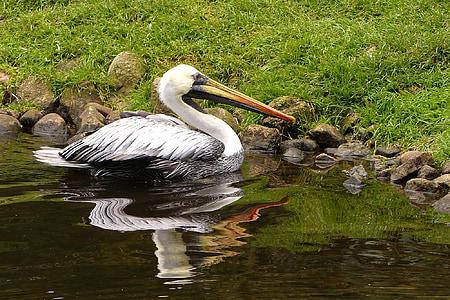 ocell, gran, Pelikan, bec gran, l'aigua, imatge en el mirall