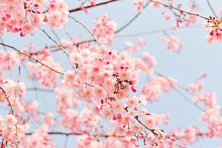 naturlig, anlegget, blomster, kirsebær, Japan, våren, rosa