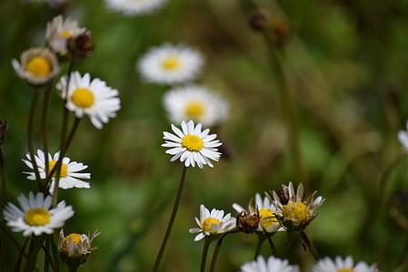 daisies, spring, prato, flowers, flower, green, white