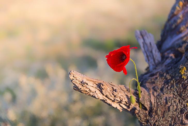 poppy, flower, nature, red, poppy flower, spring, wild flowers
