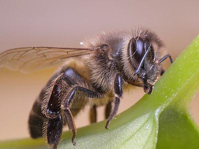 abella, insecte, abelles