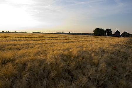 camp, cereals, natura, cultius de camp, l'agricultura, gra, l'estiu