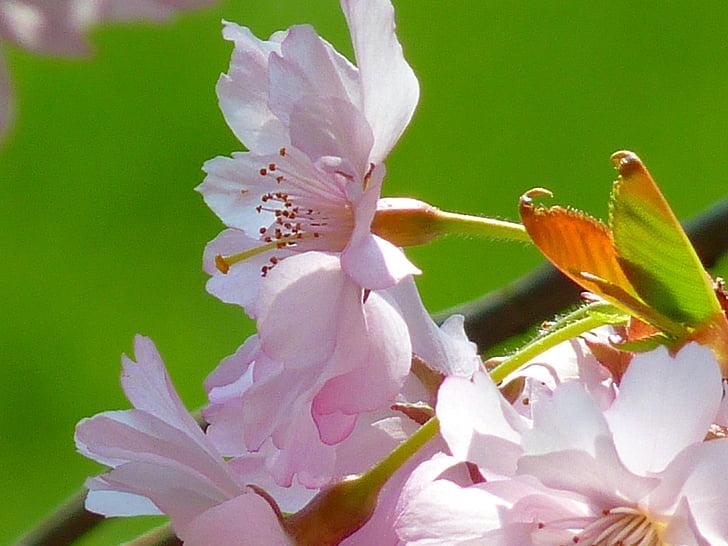Jaapani Kirsipuud, õis, Bloom, kirsi õis, Jaapani kirss, Jaapani õitsemise kirss, Dekoratiivne kirss