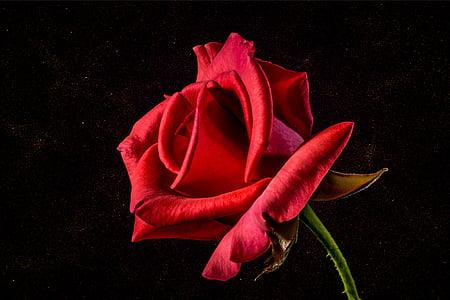 τριαντάφυλλο, Floribunda, αυξήθηκε ανθίζουν, άνθος, άνθιση, αυξήθηκαν οι ανθίσεις, πέταλο