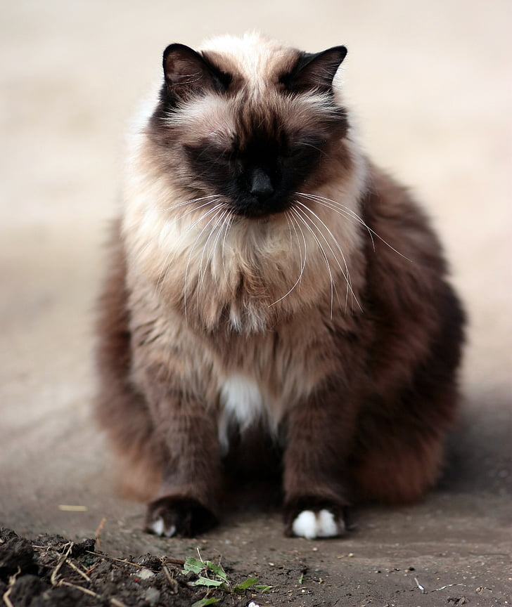 cat, siamese, fat, gray, animal, pets, domestic Cat