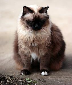 cat, siamese, fat, gray, animal, pets, domestic Cat
