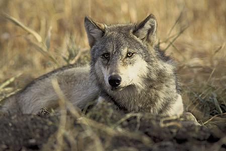 wolf, gray, wildlife, nature, predator, grey, lupus