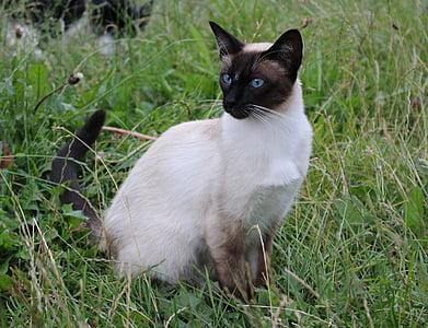 猫, シャム猫, 国内の猫, 猫の品種, ネコ科, ペット