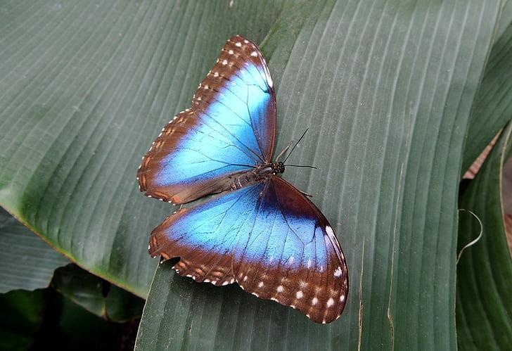 perhonen, Luonto, sininen, hyönteinen, eläinten, siipi, Sulje