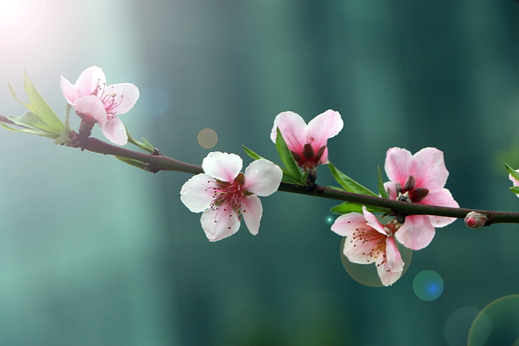 spring, flower, peach blossom, halo, nature, pink Color, branch