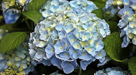 Hortènsia, flor, flor ornamental, planta, planta ornamental, flors, flors d'Hortènsia