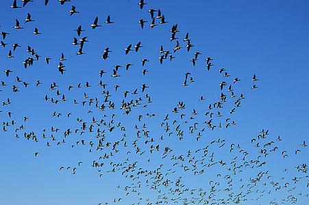 gansos salvajes, vuelo, enjambre, cielo