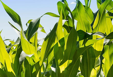 corn, corn husks, foliage, green, leaves, agriculture, nature