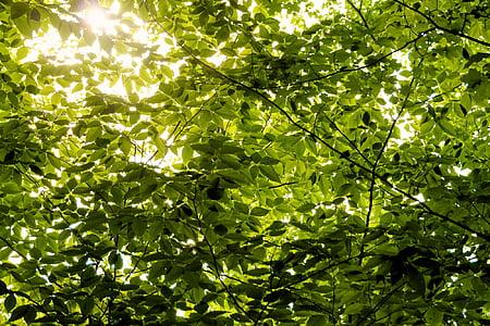dalları, Yeşil, yaprakları, ağaç, yaprak, doğa, Orman
