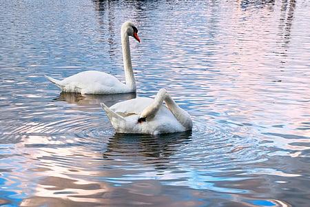 swans, water, two, water bird, late autumn, rhine, bird