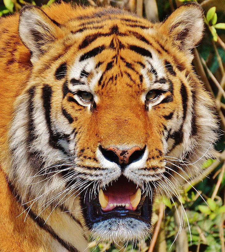 動物, 動物の写真撮影, クローズ アップ, ネコ科の動物, タイガー, 野生の猫, 野生動物