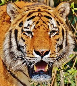 animal, animal photography, close-up, feline, tiger, wild cat, wildlife