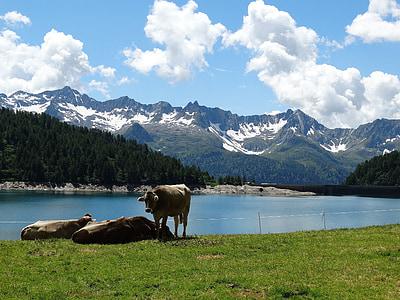 vacas, gado, Alm, bergsee, Lago, montanhas, montanhas de neve