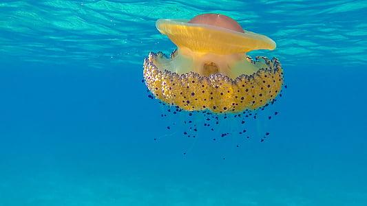 жълто, синьо, медузи, океан, море, вода, природата