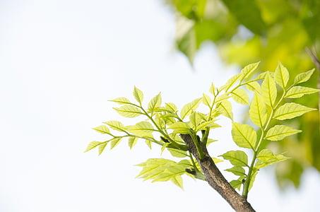 Zelená, zelené výhonky, listy, Leaf, klíčivosť, letné, pobočka