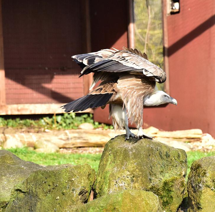 лешояд, хранят с мърша, перо, птица, природата, животински свят, граблива птица