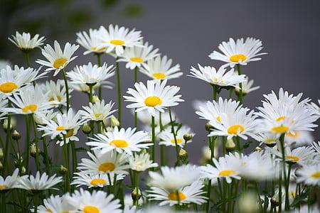 카모마일, 꽃, 자연, 공장, 꽃, 블 룸, 봄