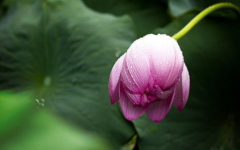 lotus, lotus leaf, nature, flowers, greenness, plant, flower