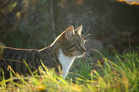 cat, autumn, grass, evening light, tiger cat, domestic cat