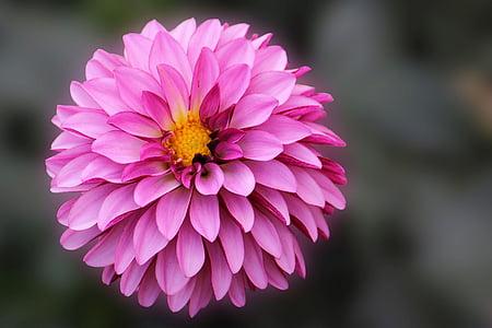 dàlia, flor, flor, flor, planta de jardí, jardí de dàlia, finals d'estiu