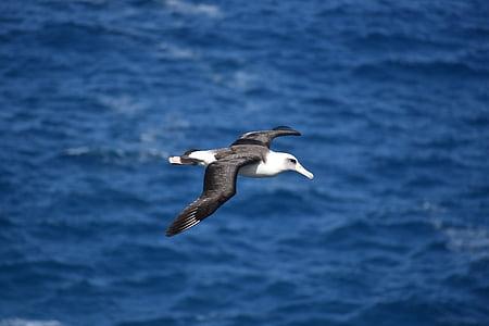 Albatross, uccello, birdwatching, di volo, natura, ali spiegate, animali allo stato brado