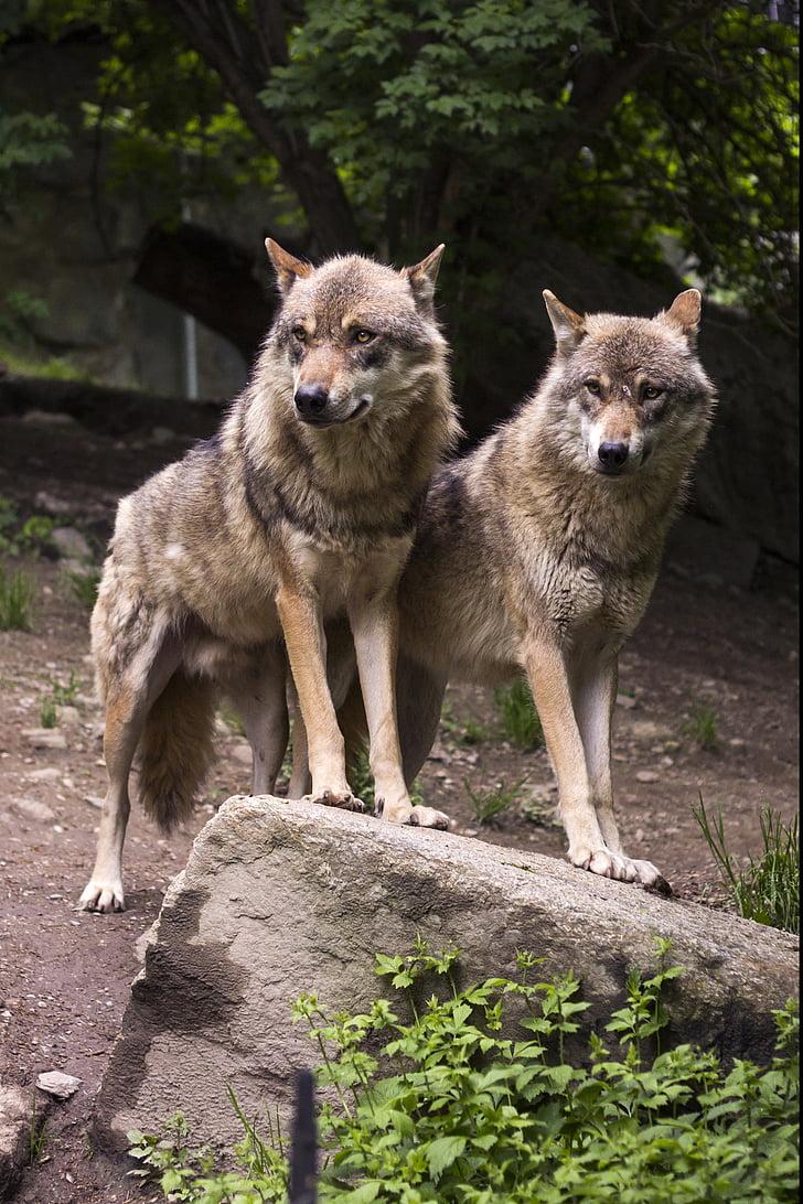 llop, llops, llop europeu, Canis lupus, Predator, zoològic, Roca