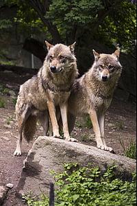 вълк, вълци, Европейски вълк, Canis lupus, Хищникът, Зоологическа градина, рок