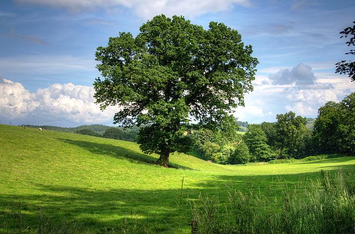 drevo, hrast, krajine, pogled, polje, scensko, podeželje