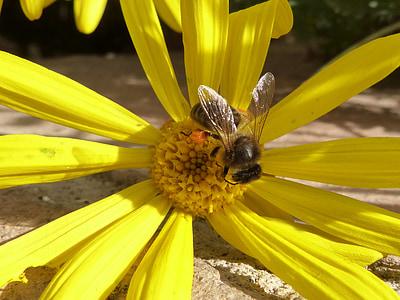abella, pol·len, Libar, Margarida