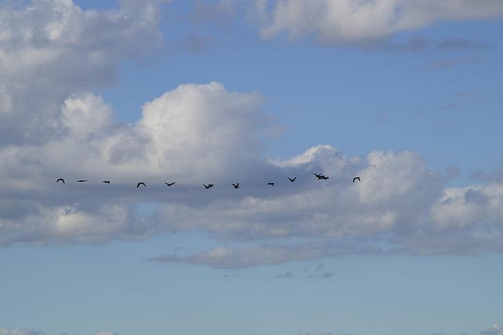 небо, пташиного польоту, перелітних птахів, літати, Гуси, в ряд, серія