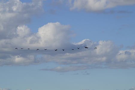 sky, bird flight, migratory birds, fly, geese, in a row, series