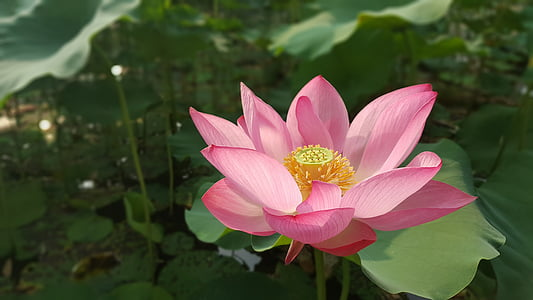 flowers, flower, lotus, nelumbo nucifera, sacred lotus, petal, nature