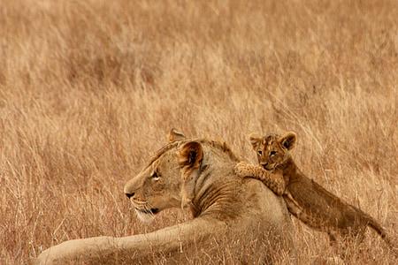 lion, baby, animal, family, wild, mammal, safari