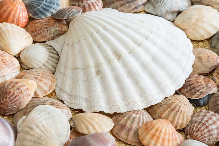conquilles, petxines, Mar, petxina de mar, oceà, natura, closca