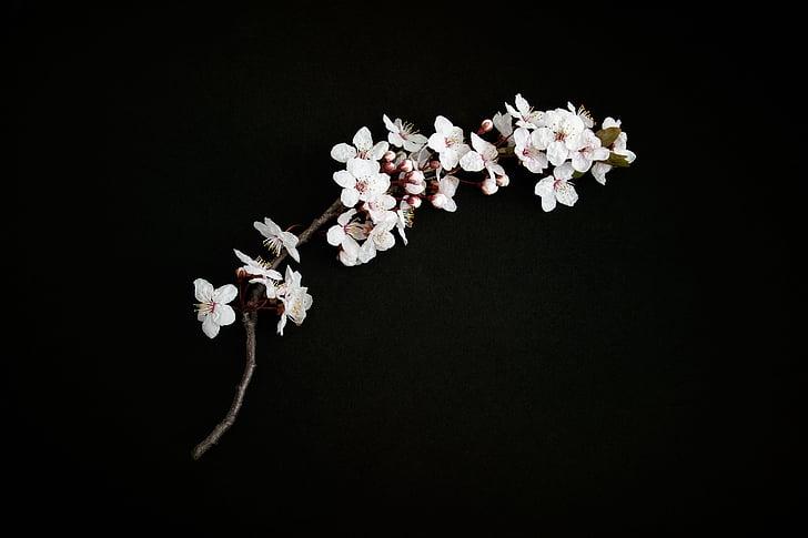 flor del cirerer, branca cirera, pètals de cirerer, natura, branca, flor, primavera