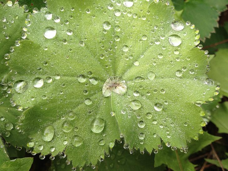 Príroda, drop, list, Rosy, Zelená