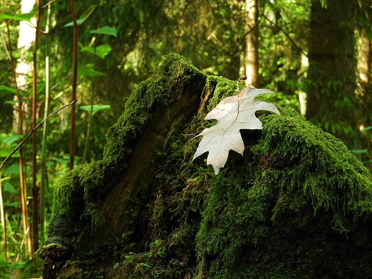 fulla, molsa, bosc, natura, sotabosc, fulles, incrustacions