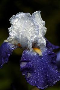 홍 채, 꽃, 블루, 매크로, 빛과 그늘, 이 슬 방울, 정원