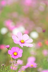 natural, planta, flors, cosmos, flors de tardor, tardor, Rosa