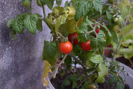 paradicsom, cseresznye, zöldség, növényi, egészséges, piros, kerek