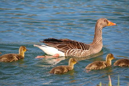 eläimet, vesilinnut, ankat, nuori, fluffy, lintu, eläinten