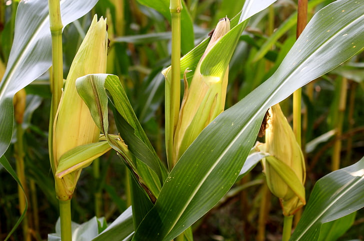 plant, corn, corn on the cob, leaves, cornfield, fodder maize, cereals