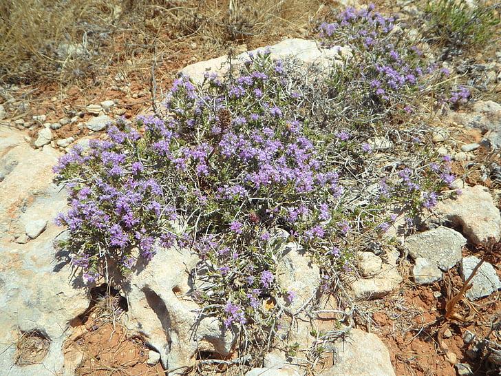 salvatge, flors silvestres, herbes, herbes salvatges, farigola, flor, fragància