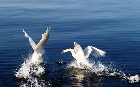 swans, departure, start, dispute, attack, water, lake constance